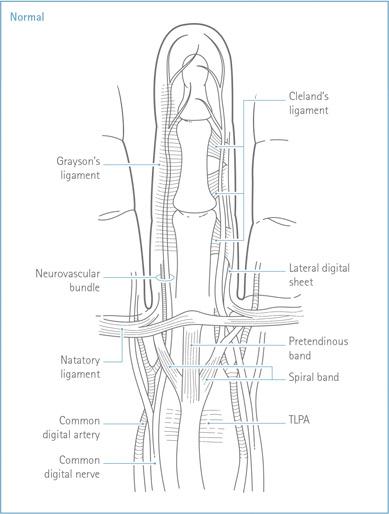 Fig.3 Anatomia del dito